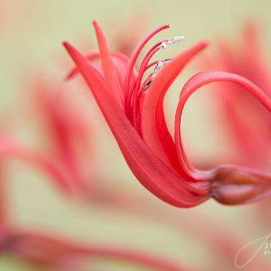 Tumbleweed Closeup Pink Flower